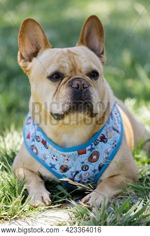 5-year-old Tan Frenchie Male Lying Down And Scanning The Surroundings. Off-leash Dog Park In Norther