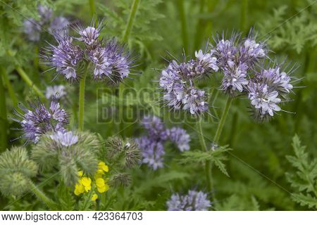 Close-up. The Flowering Phacelia Plant Is An Excellent Honey Plant And Green Manure.