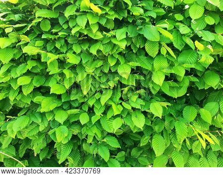 Full Frame Background With A Natural Fence Of Green Leaves.