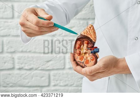 Kidney Health Concept. Close-up, Anatomical Model Of Human Kidney In Doctor Hands. Urology