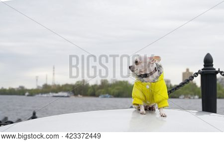 A Chihuahua Dog Sits On A Large Stone In A Yellow Jacket On A River Embankment In Cool Summer Weathe