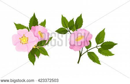 Dog Rose, Rosa Canina Or Rosehip With Pale Pink Flower And Green Pinnate Leaves On Stem Vector Set