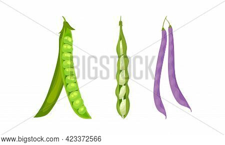 Grain Legume Or Pulse Crop With Pod And Beans Vector Set