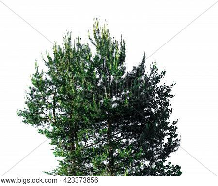 Green Voluminous Bush With Two Young Pines And Birch Isolated On White Background. Piece Of Mixed Fo