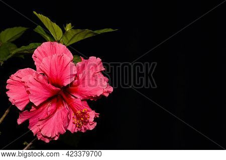 Hibiscus Rosa-sinensis Is A Bushy, Evergreen Shrub. Commonly Known As China Rose, Red Petals With Ye