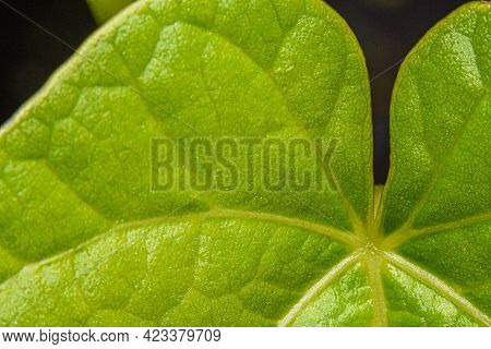Green Leaf With Visible Veins, Pattern And Defined Texture.