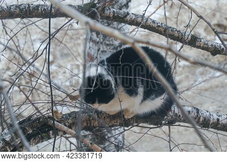A Black And White Cat Sits On A Birch Branch In The Winter