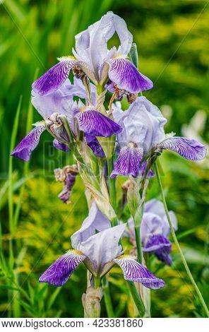 Iris Ensata  Midnight Star Iris Kaempferii