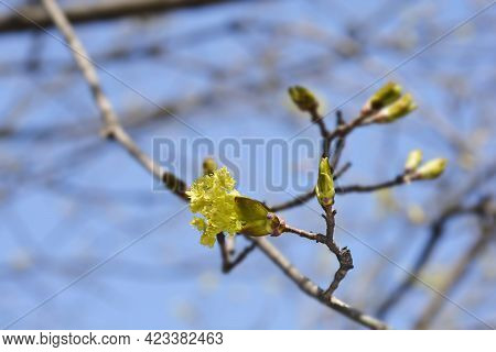 Norway Maple Branches With Flowers And Buds - Latin Name - Acer Platanoides