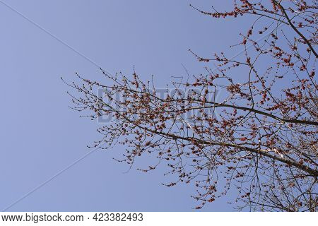 Silver Maple Branch With Juvenile Fruit Against Blue Sky - Latin Name - Acer Saccharinum