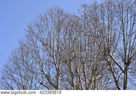London Plane Branches With Seeds Against Blue Sky - Latin Name - Platanus X Hispanica (platanus X Ac