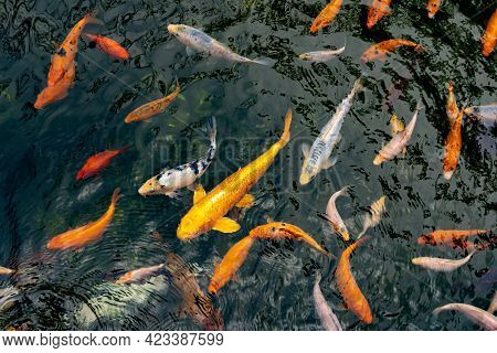 Pond With Carps Top View. Many Colorful Fish Of Different Sizes Swim In The Lake. School Of Fish In