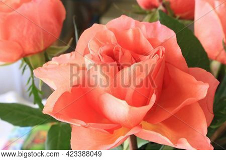 Beautiful Delicate Coral Color Rose Close Up
