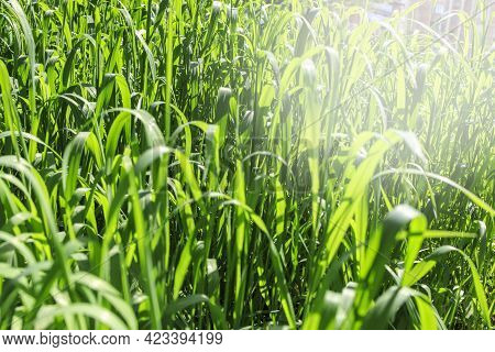 Long Fresh Green Grass Texture Background View Of Grass Garden Ideal Concept Used For Making Green F