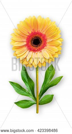 Offbeat Gerbera Flower. Composition Of Red-orange Gerbera And Peony Leaves. Art Object On A White Ba