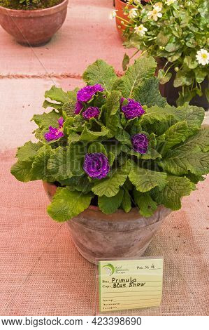Moscow, Russia - May 16, 2021: Double-flowered Primula Variety Blue Show.  Exhibition In The Greenho