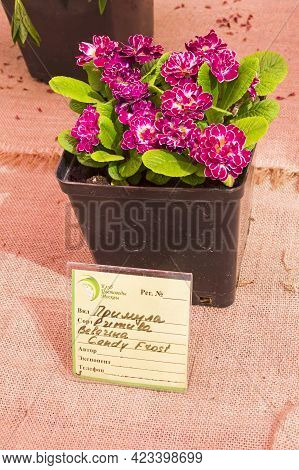 Moscow, Russia - May 16, 2021: Double-flowered Primula Variety Belarina Candy Frost.  Exhibition In