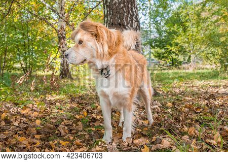 A Dog In The Autumn Forest With A Dog Collar From Fleas And Ticks.
