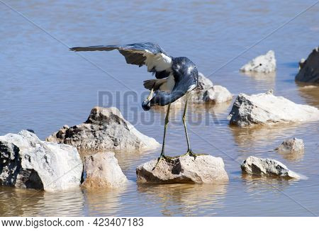 The Green Leg Crane Family Bird Checking Its Feathers In A Lagoon On Grand Turk Island (turks And Ca