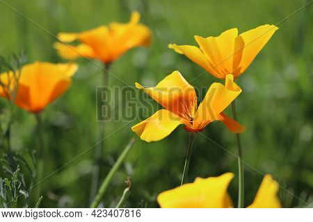 Yellow Flowers Of Eschscholzia Californica Or Golden Californian Poppy, Cup Of Gold, Flowering Plant