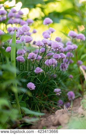 Purple Chives Plant In Summer Garden. Perfect Healthy Herb Flowers. Chive Blossom In Back Light.