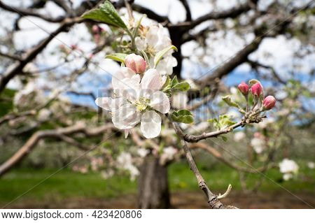 Closeup Of White Blossom Apple Flower On Tree Branch With Fruit Orchard In The Background In Spring