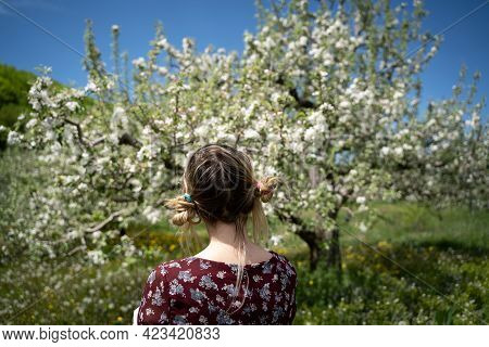Rear Portrait Of Blonde Young Woman With Hair Arranged In Pigtails Watching A Blossomed Apple Tree I
