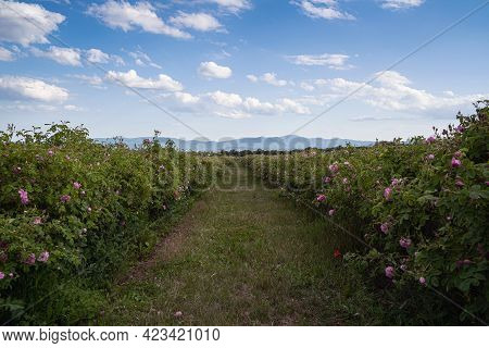 Closeup Perspective View Of Rows Of Pink Blossomed Rose Flowers In A Plantation At The Time Of Harve