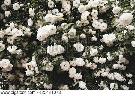 Front View Closeup Of Background Texture Of White Roses