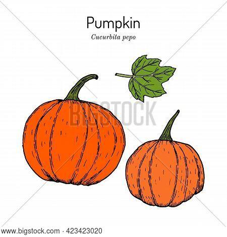 Pumpkin Cucurbita Pepo, Edible And Medicinal Plant. Hand Drawn Vector Illustration