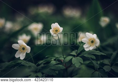 Field Of Anemonoides Nemorosa In The Area Of The Odra River In Eastern Bohemia. Swamp Environment. S