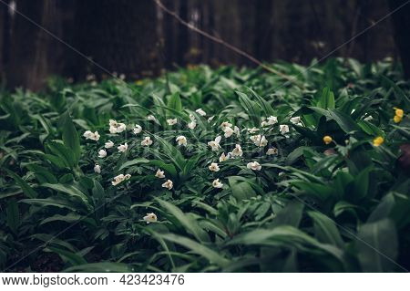 White Flowers Of Anemonoides Nemorosa Emerge From The Green Sea In The Area Around The Odra River In