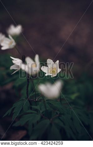 Close-up On The Famous Spring Flower Anemonoides Nemorosa In The Forest Under The Treetops. Wood Ane