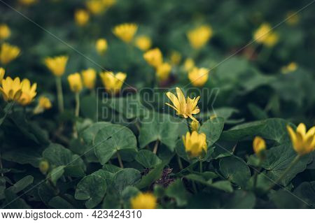 Beautiful Yellow Flower Of Ficaria Verna With Green Leaves. Lesser Celandine Or Pilewort Covering Pa