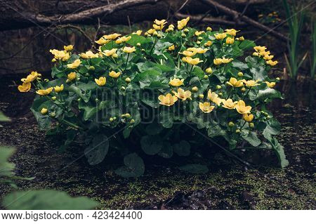 Shrub Of Yellow Flowers And Green Leaves Belonging To The Marsh-marigold Plant Blooming In Flooded S