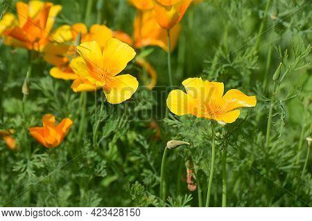 Orange Flowers Of Californian Poppy Close Up.