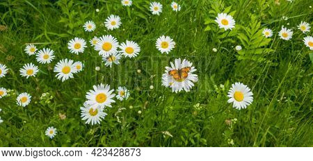 Wild Daisies Flowers In The Fields With Cute Butterfly