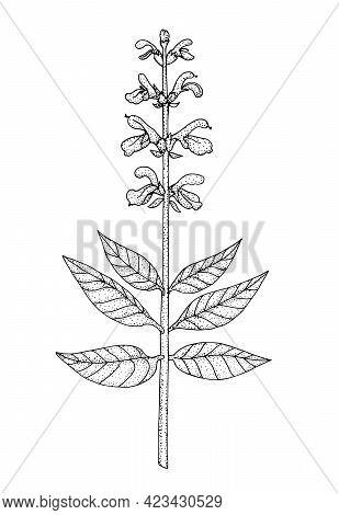 Salvia. Hand Drawn Black Realistic Outline Vector Illustration.