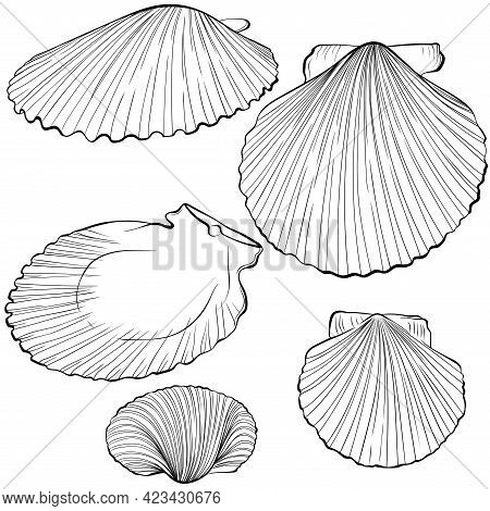 Scallop Shells From Different Angles. Vector Hand Drawn Line Art Illustration Isolated On White. Ele