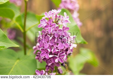 Purple Branch Of Lilac Among Green Leaves Close Up