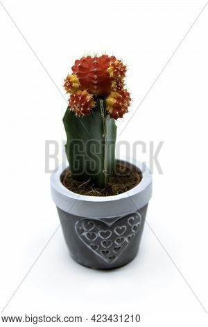Red Grafted Moon Cactus Gymnocalycium Mihanovichii Isolated On White Background. Growing Ruby Ball C