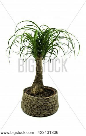 Beaucarnea Isolated On White Background. The Beaucarnea Recurvata, Also Known As Ponytail Palm, Or N