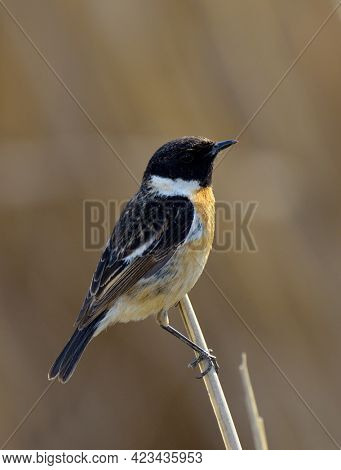 Whinchat saxicola rubetra male sitting on grass. Cute little common bright meadow songbird. Bird in wildlife
