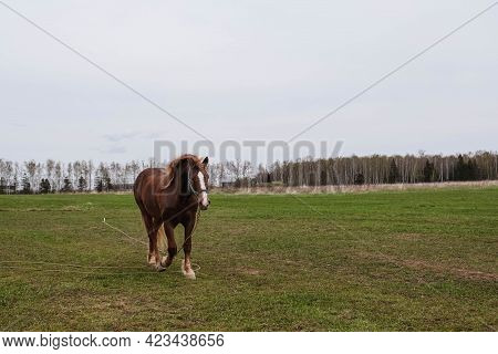 Brown Draft Horse With A White Spot On The Head Grazing In The Meadow