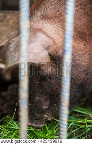 Unfortunate Piglet Suffers Trapped In A Cage Behind Bars At A Meat Farm. Pigs In A Cage With Their N
