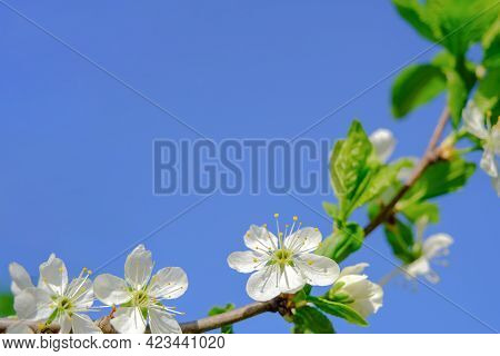 White Flowers Of A Blooming Apple Tree In Spring On A Background Of Blue Sky On A Sunny Day In Natur