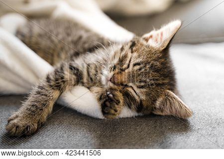 Cute Little Tabby Grey Kitten Sleeping On The Sofa And White Blanket. Cute Baby Cat Relax On Cozy Wa