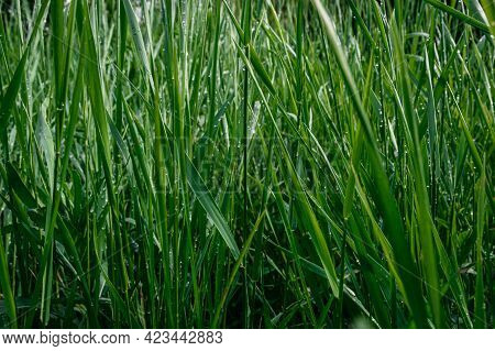 Background From Tall Green Grass. Summer Lawn.