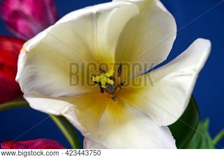 Pistil And Stamens Of A Beautiful White Tulip Flower