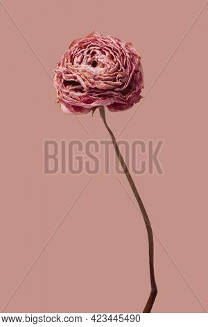 Dried pink buttercup flower on a pink background